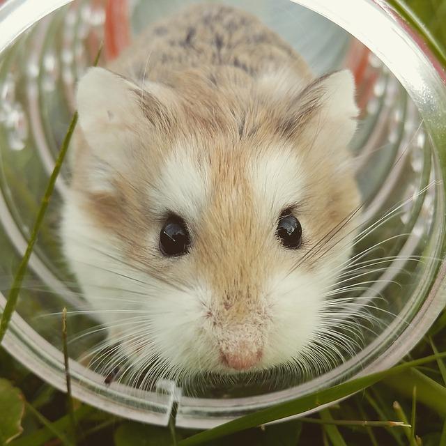 hamster-1149177_640